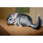 Chinchilla Natur
